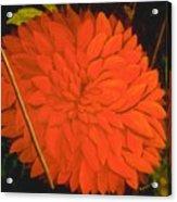 Linda's Red Dahlia Acrylic Print