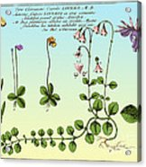 Linnaea Borealis, Linnaeuss Favorite Acrylic Print