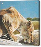 Lion Low Acrylic Print