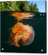 Lions Mane Jellyfish Swimming Acrylic Print by Paul Nicklen