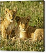 Little Lions Acrylic Print