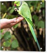 London Parakeet Acrylic Print