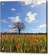 Lone Oak Tree In Wheat Field Acrylic Print