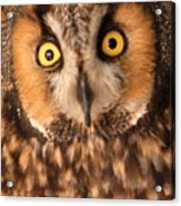 Long Eared Owl Acrylic Print