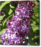 Lovely Lilacs Acrylic Print