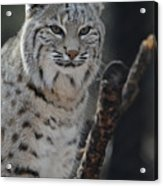 Lynx Perched In A Tree Acrylic Print