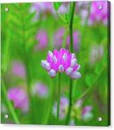 Magenta Wildflower Acrylic Print