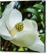 Magnolia Bloom IIi Acrylic Print