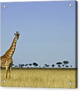 Majestic Giraffe Acrylic Print