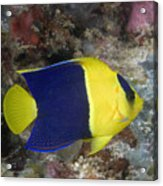 Malaysia Marine Life Acrylic Print by Dave Fleetham - Printscapes