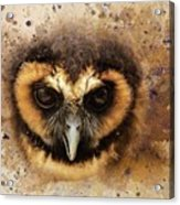 Malaysian Brown Wood Owl Acrylic Print