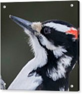 Male Hairy Woodpecker Acrylic Print