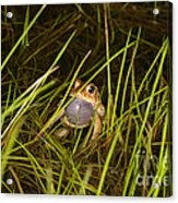Male Toad Acrylic Print