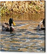Mallards On Pond Acrylic Print