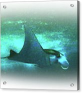 Manta Ray Dream Acrylic Print