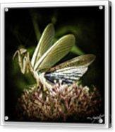 Mantis 22 Acrylic Print