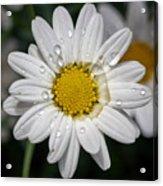 Marguerite Daisy Acrylic Print