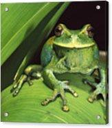 Marsupial Frog Gastrotheca Orophylax Acrylic Print