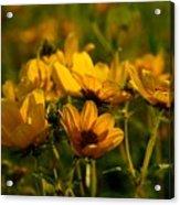 Maximilian Sunflowers Acrylic Print