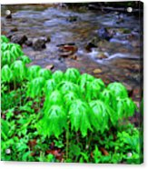 May-apples And Middle Fork Of Williams River Acrylic Print