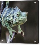 Mellers Chameleon Portrait Acrylic Print