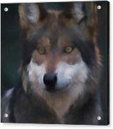 Mexican Grey Wolf Da Acrylic Print