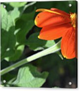 Mexican Sunflower Acrylic Print