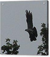 Mississippi Kite In Flight Acrylic Print