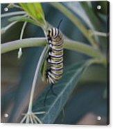 Monarch Catterpillar  Acrylic Print