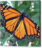 Monarch - Perfection Acrylic Print