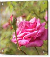 Moondrops 85 Hybrid Tea Rose, Pink Rose Originally Produced By  Acrylic Print