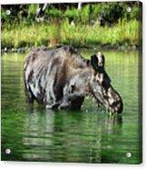 Moose In The Elk Creek Beaver Ponds Acrylic Print