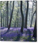 Morning Bluebells Acrylic Print