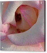 Morning Rose Acrylic Print