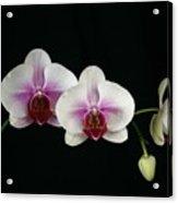 Moth Orchid 3 Acrylic Print