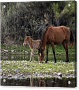 Mother And Foal Wild Salt River Horses Acrylic Print