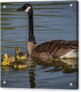 Mother Goose Acrylic Print