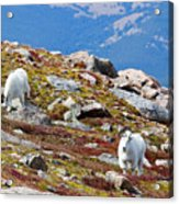 Mountain Goats On Mount Bierstadt In The Arapahoe National Forest Acrylic Print