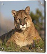 Mountain Lion Portrait North America Acrylic Print