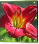 Scarlet Bloom Acrylic Print
