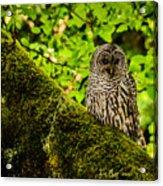 Muir Woods Owl Acrylic Print
