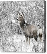 Mule Deer In Winter In The Pike National Forest Acrylic Print