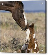 Mustang Mare And Foal Acrylic Print
