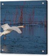 Mute Swan In Flight Acrylic Print
