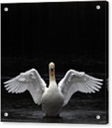 Mute Swan Stretching It's Wings Acrylic Print