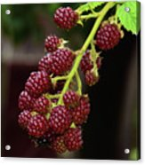 My Blackberries Acrylic Print