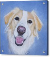 My Blonde Border Collie Acrylic Print