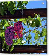 Napa Valley Inglenook Vineyard -2 Acrylic Print