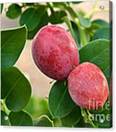Natal Plums On Branch Acrylic Print