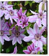 Nelly Moser Clematis Acrylic Print